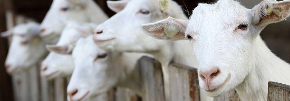 Neem een geit en raak m ook weer kwijt